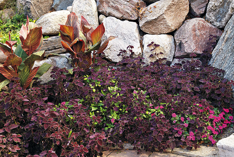Coleus makes a nice ground cover:'Garnet Robe' coleus makes a nice ground cover mixed with Super Elfin™ Lipstick impatiens (Impatiens hybrid) at the feet of Tropicanna™ canna (Canna hybrid).