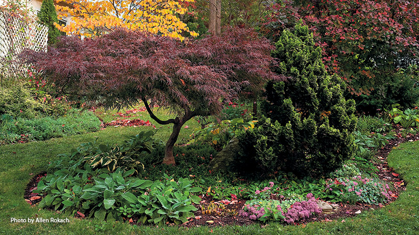 designing-with-japanese-maples-pv: Like many Japanese maples, 'Red Filigree Lace' above keeps its deep purple-red color all summer and turns bright crimson in fall.