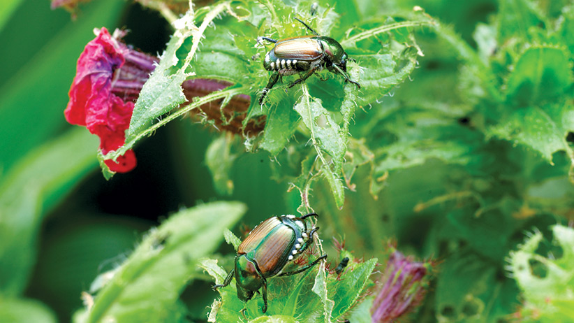 Your Guide To Japanese Beetles Garden Gate