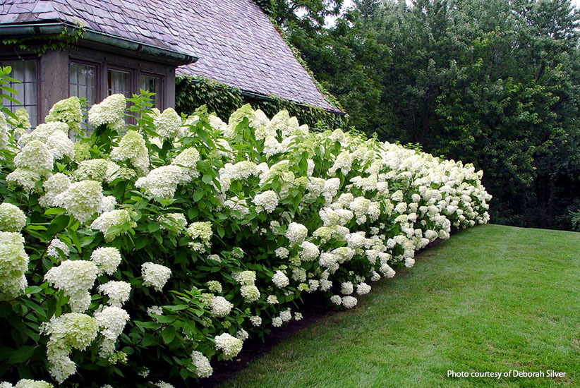 panicle-hydrangeas-for-your-garden-limelight-Deborah-Silver: Make an informal hedge by planting panicle hydrangeas like 'Limelight' close together so they will grow into a tight border.