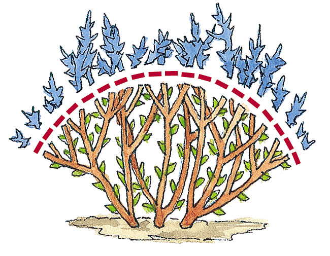 Pruning illustration to show how to get tight mounds of spirea