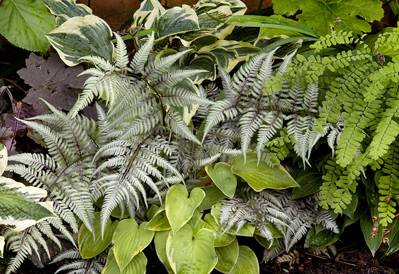 Japanese painted ferns and hostas in a shade garden: Japanese painted ferns add texture to shade gardens and make a great companion to hostas.