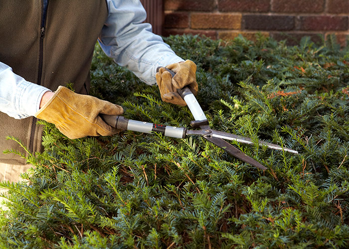 Hedge-Shears: Hedge shears make shaping evergreens easy by snipping many stems at once.