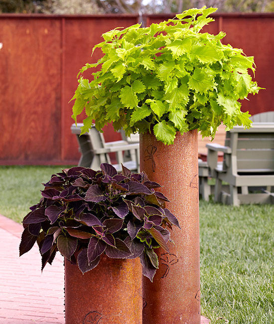 How-to-grow-coleus-tall-container:  Get the look of a standard coleus without the work of training it by growing plants in tall, narrow pots.