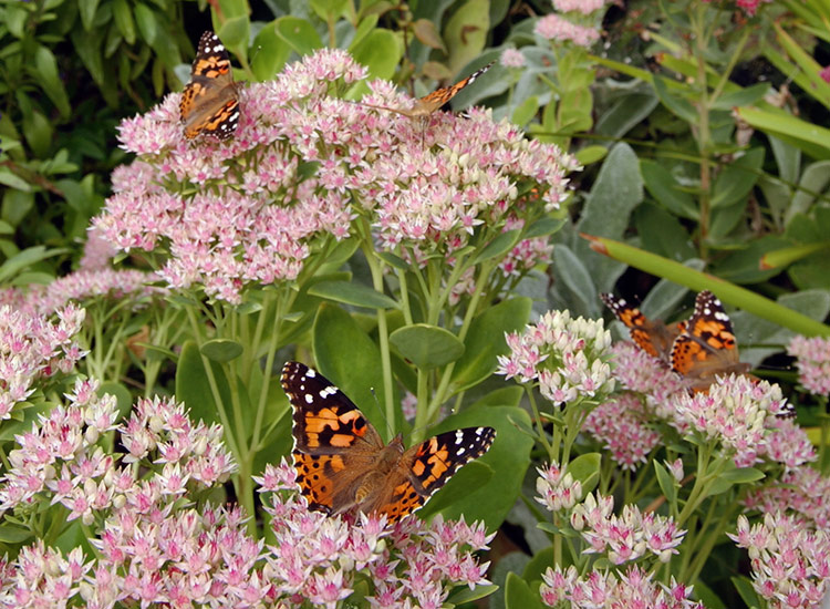 Common-backyard-butterflies-Painted-lady-lead: Painted lady butterflies love sedums! Find out which other butterflies are visiting your garden and how to bring more of them in.