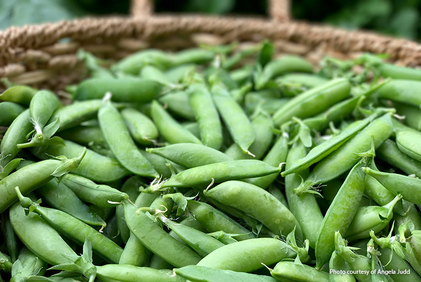 Harvest of garden peas: Look at this great harvest of 'Little Marvel' peas.