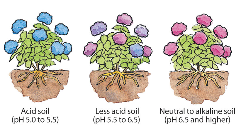 fp-care-for-bigleaf-hydrangeas-soilPH: Changing the pH of your soil will change the color of your bigleaf hydrangea blooms.