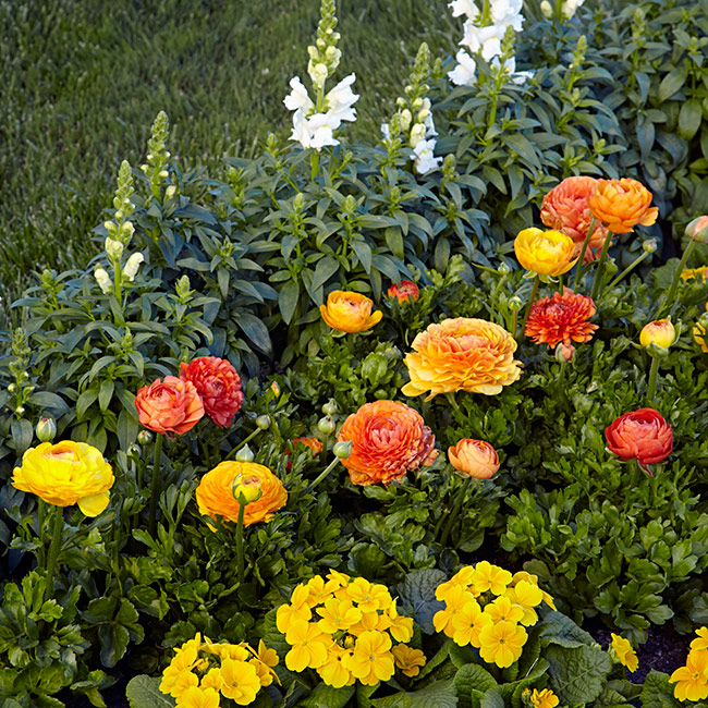 Spring garden bed with Ranunculus: Frilly foliage adds a ruffled texture between the white snapdragons and yellow primrose.