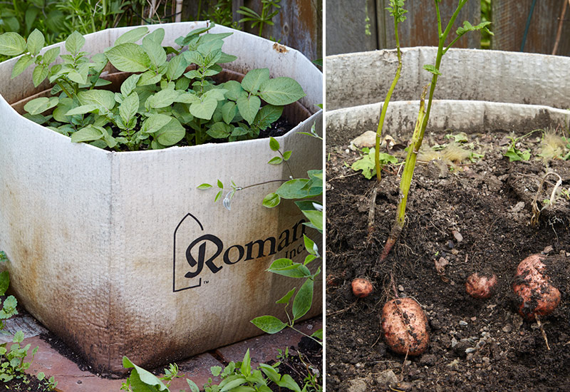 how-to-grow-potatoes-in-a-box2: Pull the side of the box away and you can see your potato harvest.