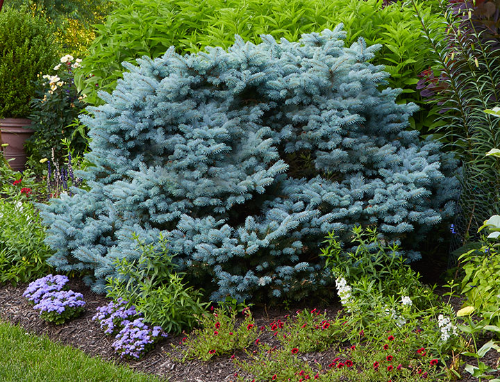 Foundation-plants-by-shape-dwarf-blue-spruce-globiosa-round: This 'Globosa' dwarf blue spruce has a round habit.