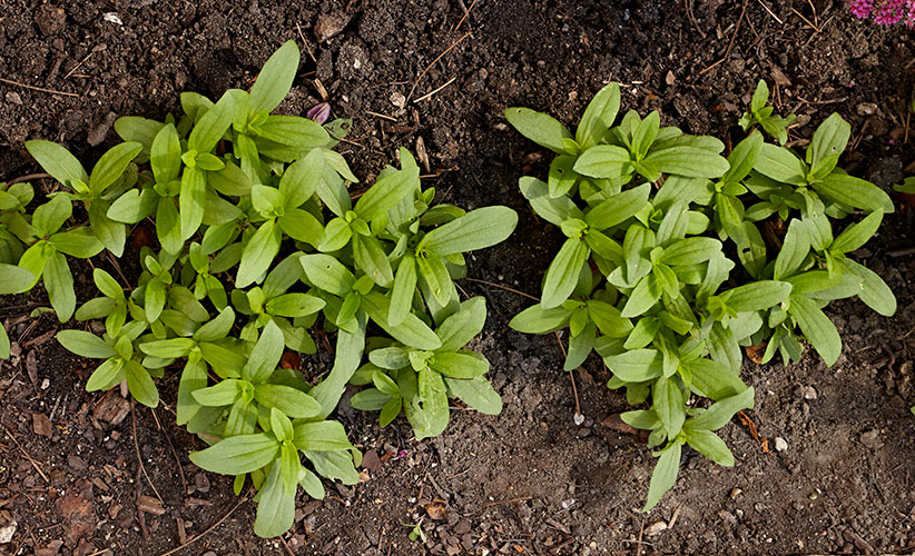 how-to-transplant-seedlings-in-the-garden-seedlings-too-dense: These tight clumps of zinnia seedlings won't create an evenly covered garden bed.