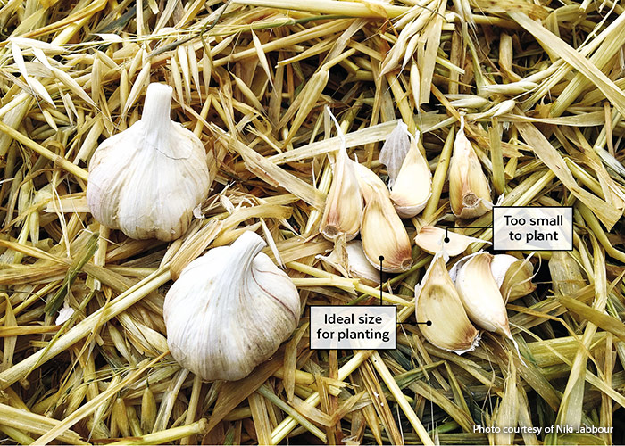 Comparison of garlic clove size for planting: For big bulbs, garlic is best planted in autumn, about four to six weeks before the first expected frost. Break apart the cloves and sort them — the biggest for planting and the rest for the kitchen.