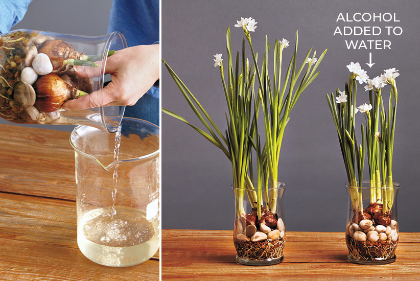 forcing-paperwhites-how-to-keep-from-flopping-tip: This simple tip will help keep your paperwhite daffodils from flopping over.
