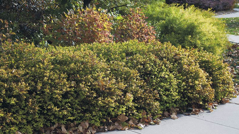 Goldflame Japanese spirea hedge: Use 'Goldflame' Japanese spirea as a ground cover or hedge.