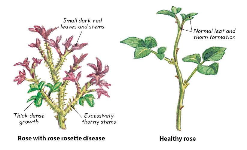 ht-dwp-Rose-Rosette-disease-Illustrations