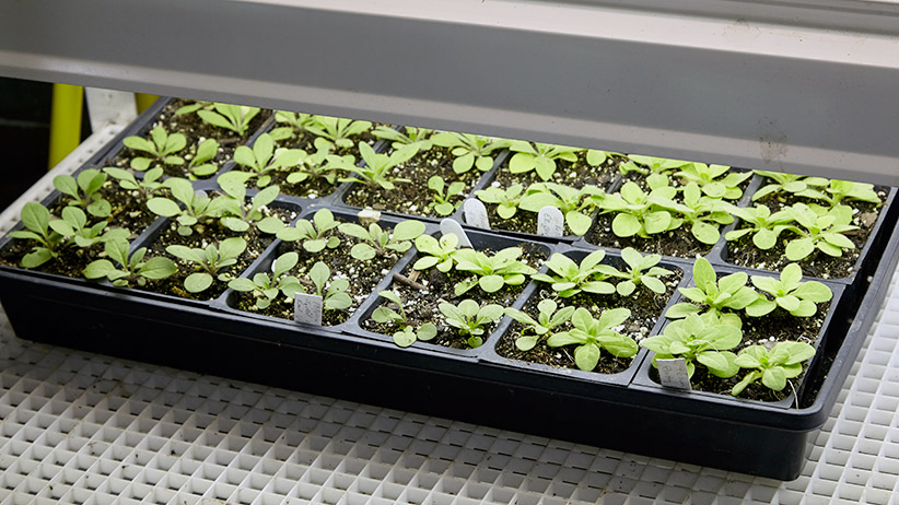 how-to-harden-off-plants-seed-tray: These seedlings are used to even temperatures and lots of light. They'll need time to get adjusted to outdoor life.