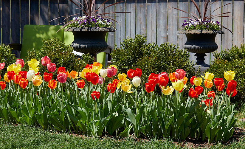 how-to-make-tulips-last-longer-every-spring-springshow