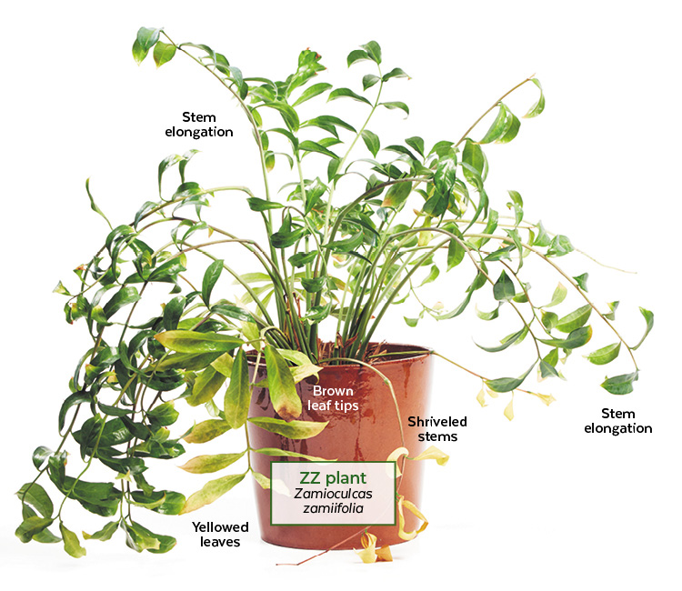 Trouble shooting an overwatered ZZ plant: This ZZ plant has several symtoms of being overwaterd including elongated stems and yellowed leaves.