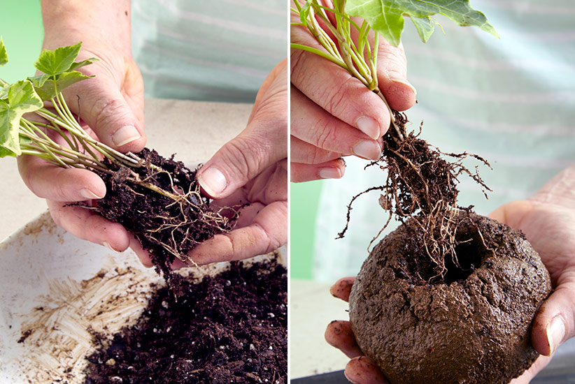 how-to-make-kokedama--remove-soil-plant-in-ball: Gently remove potting mix from around the roots of your plant before adding to the soil ball.