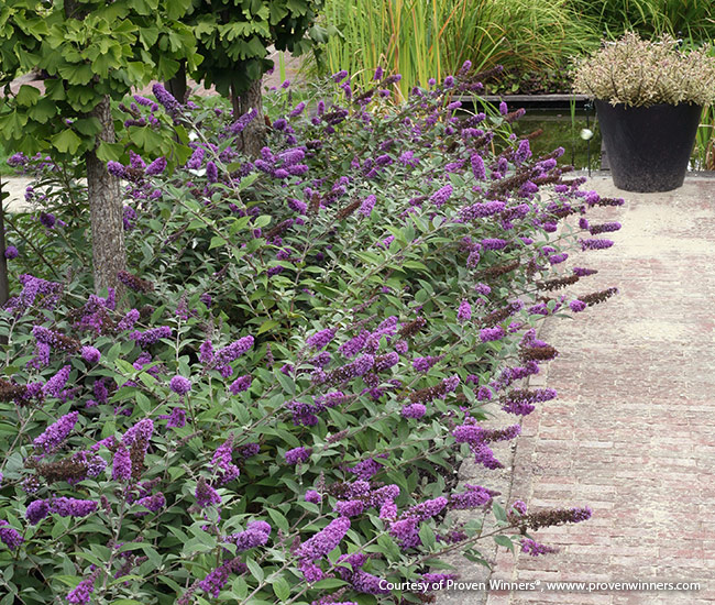 Lo-and-behold-Blue-Chip-Seeting-Proven-Winners: Compact cultivars like Lo & Behold 'Blue Chip' you see here can create a formal, yet airy, flowery edge along a brick path.
