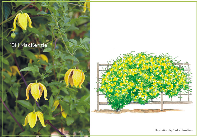 Bill-MacKenzie-clematis-with-illustration: The bell-shaped golden-yellow blooms of 'Bill MacKenzie' can be seen from late summer through frost.