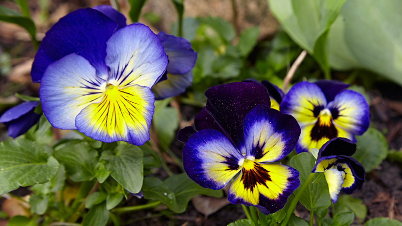 how-to-grow-pansies-pv: Matrix Midnight Glow pansies have beautiful 3½- to 4-in. whiskered blooms.