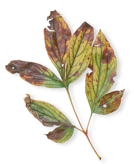Growing-Peonies-spots-on-leaves: Fungal disease can make the foliage on your peony look really bad but it doesn't usually kill the plant.