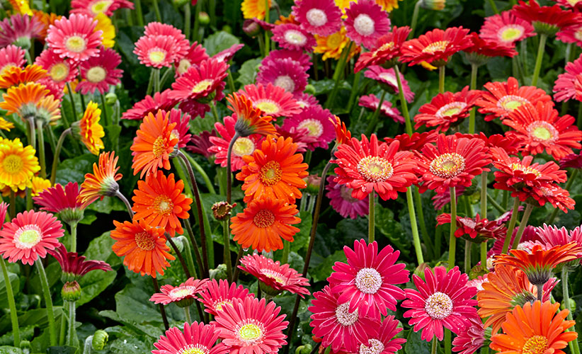 gerbera-daisy-healthy-plants