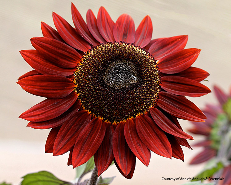 7-sunflower-varieties-for-your-garden-Red-Courtesan