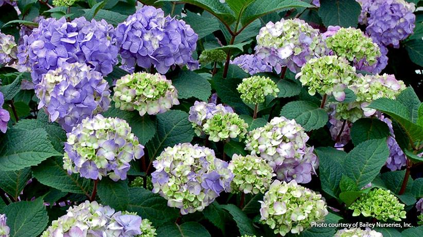 Find The Right Bigleaf Hydrangea For Your Garden Garden Gate