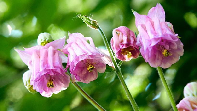 'Dorothy Rose' double columbine: 'Dorothy Rose' is a double columbine.
