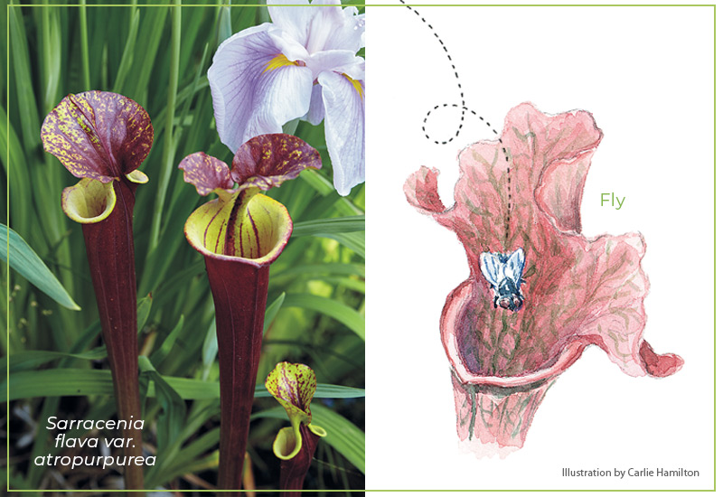Pitcher plant attracts flies: Pitcher plants have a unique way of attracting pollinators such as flies.