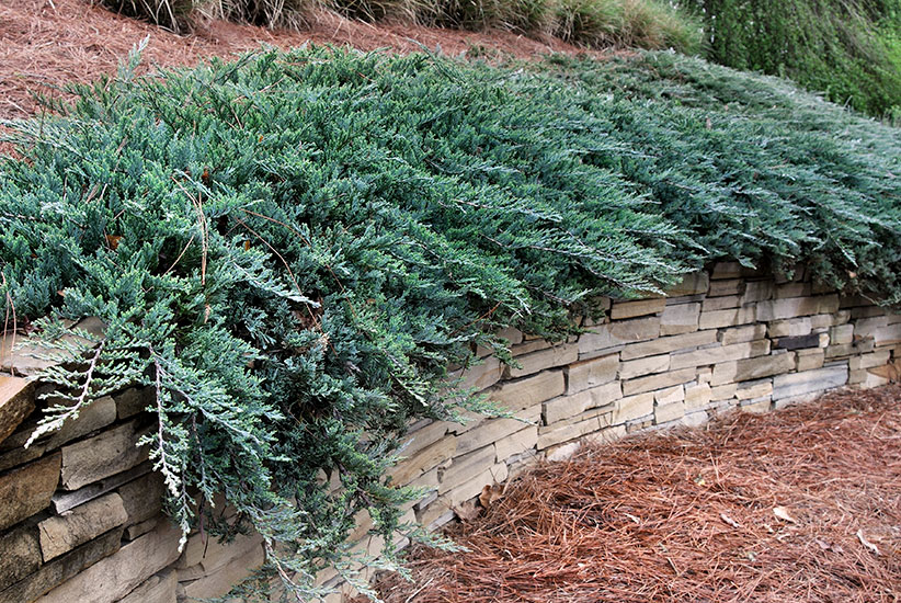 Foundation-plants-by-shape-Blue-Chip-creeping-juniper-horizontal: Horizontal 'Blue Chip' creeping juniper has a comfortable and stablilizing effect.