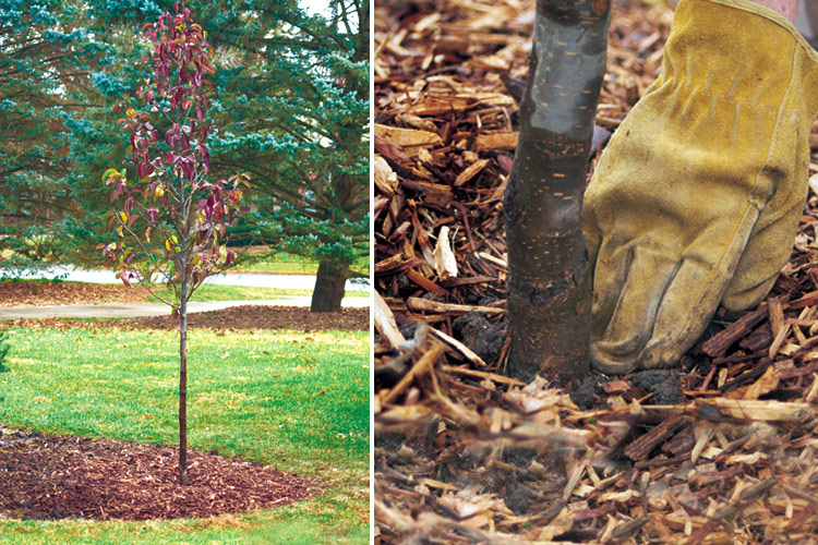 Adding mulch to a newly planted tree: Once the tree's in the ground, top the soil with a 2- to 4-in. layer of organic mulch.