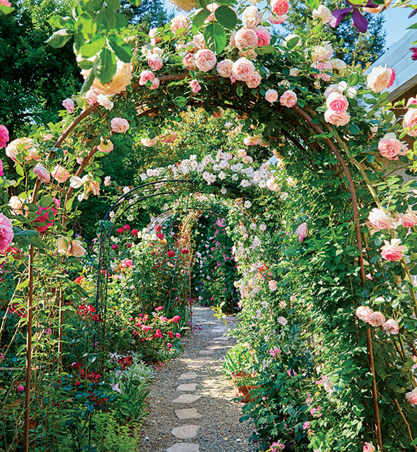 Rose Garden Archway: As climber 'Eden Rose' grows up and over the arbor, lateral stems (or side stems) get more sun than the ones closer to the ground so they produce more blooms.