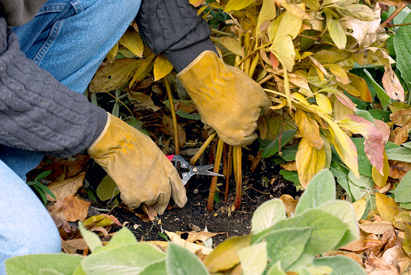 Cleaning up dead peony foliage in fall: Keep disease away by removing infected peony foliage in fall.