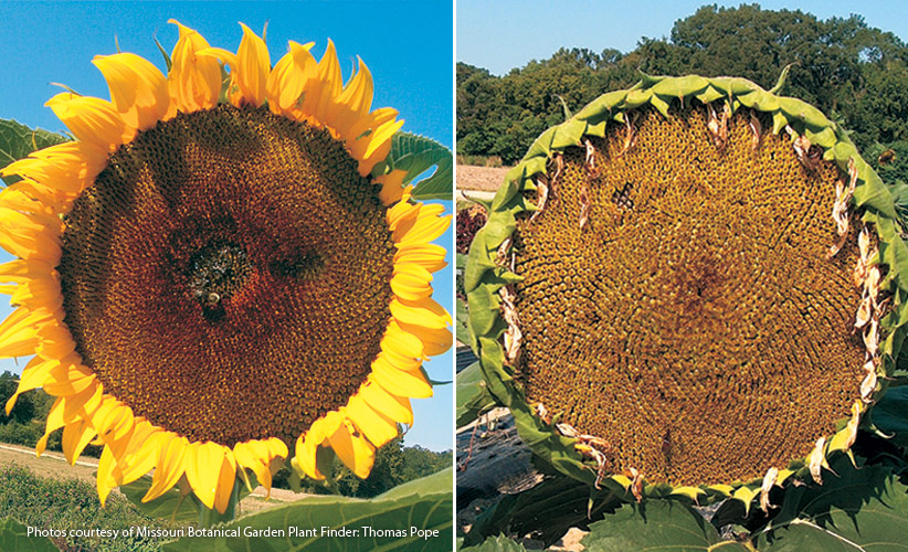 6-plants-birds-love-Sunflower: Large dinner-plate sized sunflowers will have the most seeds for the birds.