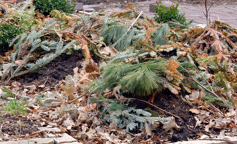 repurpose-your-live-christmas-tree-mulch:Place evergreen branches over your garden anytime the ground is frozen, from late November to midwinter, after you're done enjoying your Christmas tree indoors.