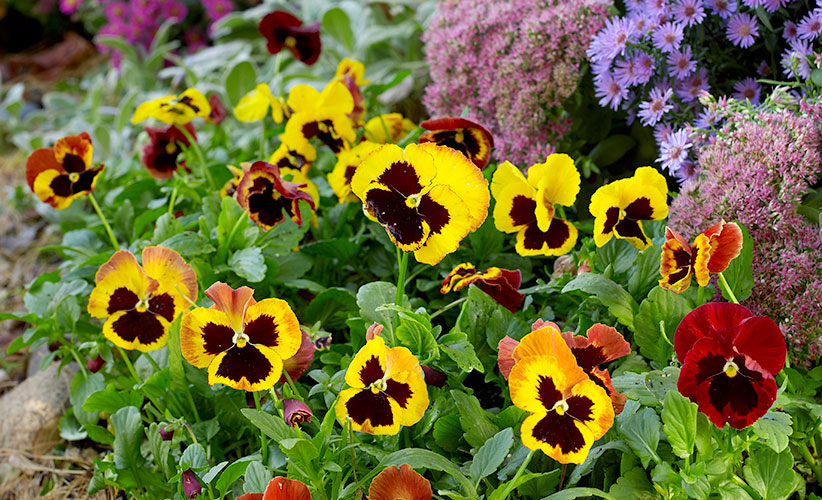 fall-checklist-plant-cool-weather-annuals-pansies: Pansies & asters like these will last several weeks in cool fall weather
