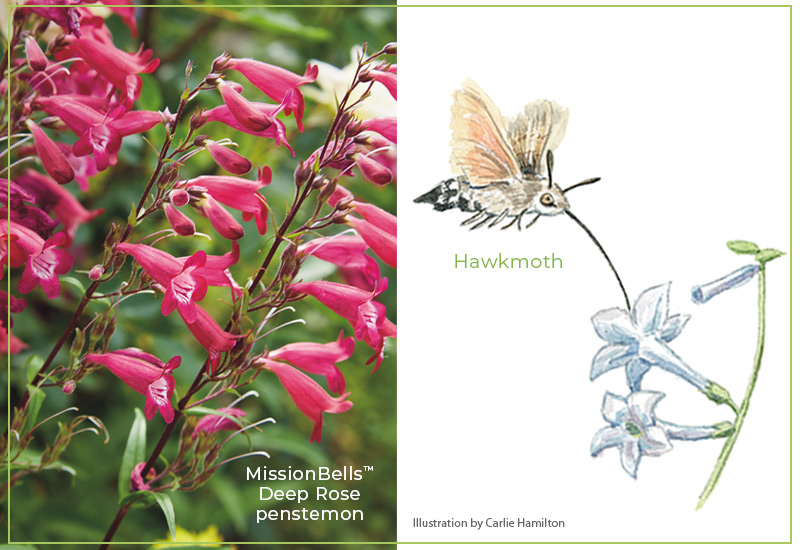Flower-shapes-Tubular-flowers-Penstemon-Hawkmoth: Tubular flowers that also produce scent, such as honeysuckle, attract night-flying hawkmoths for pollination.