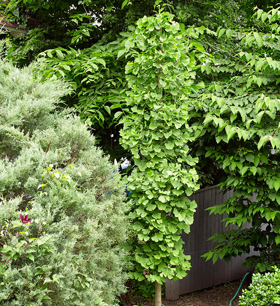 Foundation-plants-by-shape-Princeton-Sentry-ginkgo-Columnar: Columnar plants like this 'Princeton Sentry' ginkgo lead your eye upward. But this shape is softer and more casual than a pyramid.