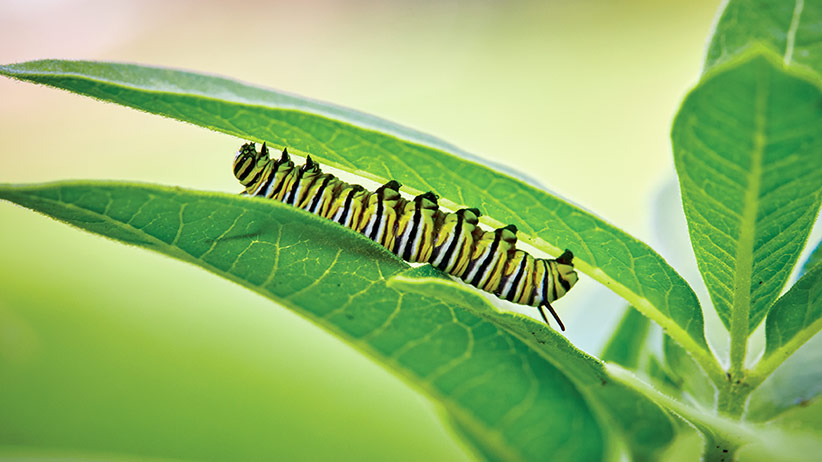 how-to-grow-milkweed-pv: Monarch catapillars like this one rely on common milkweed as their host plant each year.