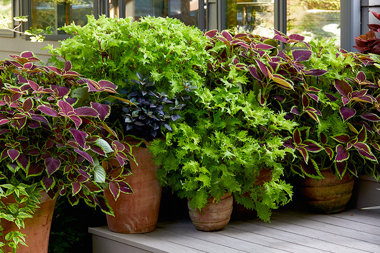 how-to-grow-coleus-from-cutting-lead2: Try our simple steps for growing more coleus or overwintering with cuttings.