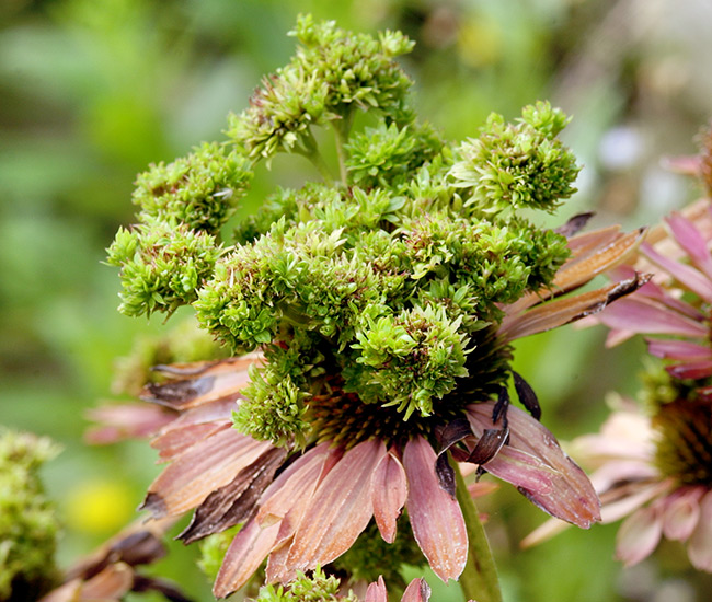 Grow-your-best-coneflowers-aster-yellows: Lumpy, misshapen, green-tinged flowers, like the ones above, are a sign your coneflowers are infected with aster yellows.