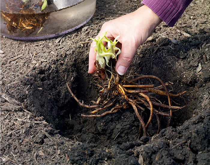 how-to-plant-bareroot-daylilies-in-soil: When planting bareroot daylilies, lay the roots over the top of the mound as if it's a dress form and the roots are a dress.