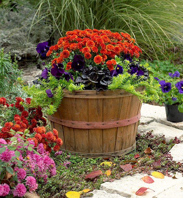 Fall flower pot with mum and pansy: Garden mums and pansies are a classic fall plant combination.