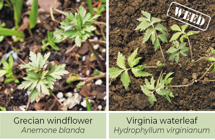 Identifying-weeds-Grecian-windflower-or-Virginia-Waterleaf: White spots on the leaves are a sign that it is Virginia waterleaf and not Grecian windflower.