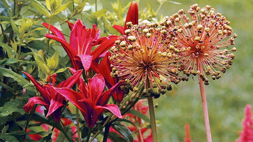 Combine-flower-shapes-in-your-garden-pv: Combining two strong shapes that peak at different times like the lily & allium shown here is a good way to keep attention focused on a specific part of your garden.