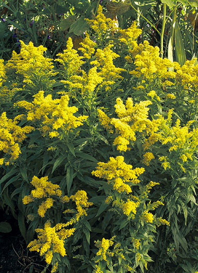 Planting Goldenrod In The Garden: The Best Goldenrods For Your Garden