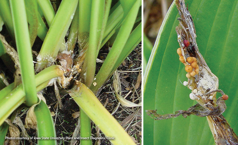 Crown rot: Look for these tiny spheres on stems and the surface of the soil as a sign of crown rot.